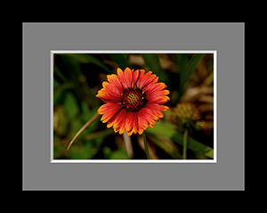 Gerbera Daisy Sleepy Hollow NY